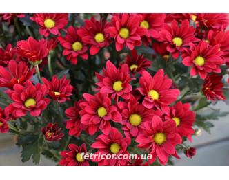 Хризантема Бордо